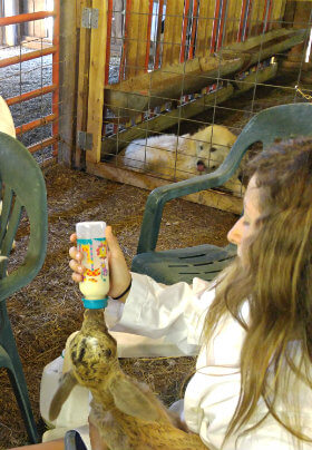 These three girls are enjoying bottle-feeding three baby goats. Goats are gentle and fun for all ages.