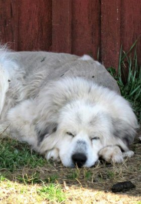 A white Great Pyrenees dog taking a rest near a red barn.